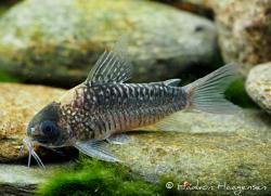 Corydoras(ln5) nijsseni - Click for species data page