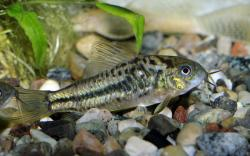 Corydoras(ln5) sp. (Cw019) - Click for species data page