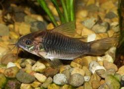 Corydoras(ln5) sp. (Cw087) - Click for species data page