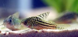 Corydoras(ln5) sp. (Cw105) - Click for species data page
