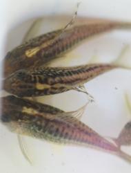Corydoras(ln5) sp. (Cw105)