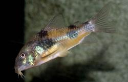 Corydoras(ln6) ehrhardti - Click for species data page