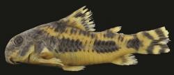 Corydoras(ln6) froehlichi - Click for species data page