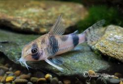 Corydoras(ln6) tukano - Click for species data page