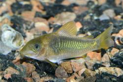 Corydoras(ln7) melanotaenia - Click for species data page