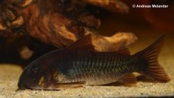 Corydoras(ln7) schultzei