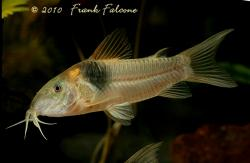 Corydoras(ln7) sp. (Cw016) - Click for species data page