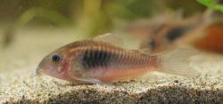 Corydoras(ln7) sp. (Cw097) - Click for species data page