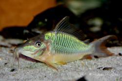 Corydoras(ln8sc1) multiradiatus - Click for species data page