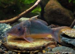 Corydoras(ln8sc1) multiradiatus