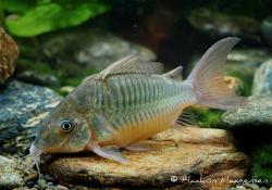 Corydoras(ln8sc1) sp. `RIO PURUS` - Click for species data page