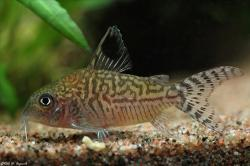 Corydoras(ln8sc3) reticulatus - Click for species data page