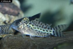 Corydoras(ln8sc4) agassizii - Click for species page