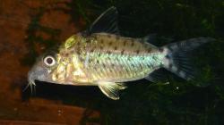 Corydoras(ln8sc4) agassizii