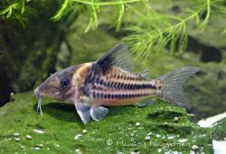 Corydoras(ln8sc4) bifasciatus - Click for species data page