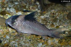 Corydoras(ln8sc4) ephippifer