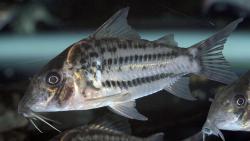 Corydoras(ln8sc4) ornatus - Click for species data page