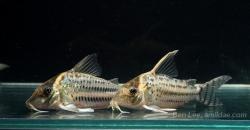 Corydoras(ln8sc4) ornatus
