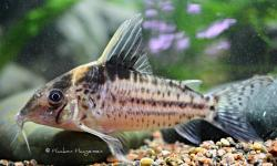 Corydoras(ln8sc4) robustus - Click for species data page