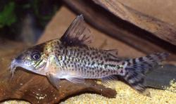 Corydoras(ln8sc4) sp. (C010) - Click for species data page