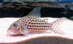 Corydoras(ln8sc4) sp. (C068) - Click for species data page