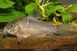 Corydoras(ln8sc4) sp. (C135) - Click for species data page