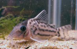 Corydoras(ln8sc4) sp. (C141) - Click for species data page