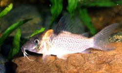 Corydoras(ln8sc4) sp. (C143) - Click for species data page