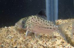 Corydoras(ln8sc4) sp. (Cw002)