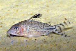 Corydoras(ln8sc4) sp. (Cw040) - Click for species data page