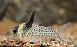 Corydoras(ln8sc4) sp. (Cw082) - Click for species data page