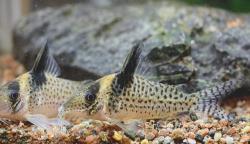 Corydoras(ln8sc4) sp. (Cw082)