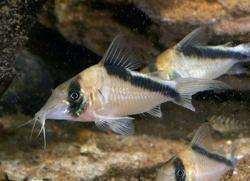 Corydoras(ln8sc4) sp. (Cw089) - Click for species data page