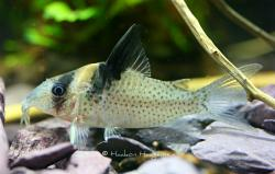 Corydoras(ln8sc4) sp. (Cw090) - Click for species data page