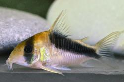 Corydoras(ln8sc4) sp. (Cw106) - Click for species data page