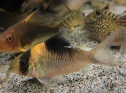 Corydoras(ln8sc4) sp. (Cw157) - Click for species data page