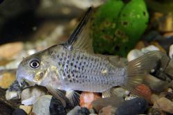 Corydoras(ln9) armatus - Click for species page