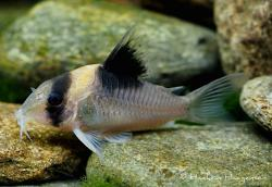 Corydoras(ln9) burgessi - Click for species page