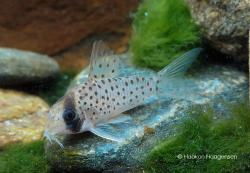 Corydoras(ln9) cf. atropersonatus`morocha` - Click for species data page