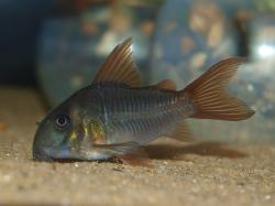Corydoras(ln9) concolor - Click for species page