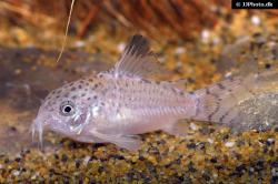 Corydoras(ln9) cruziensis - Click for species data page