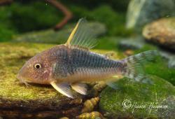 Corydoras(ln9) gossei - Click for species data page