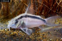 Corydoras(ln9) granti - Click for species data page