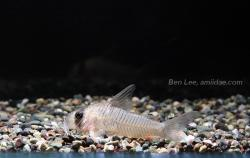 Corydoras(ln9) griseus - Click for species page
