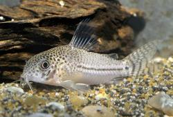 Corydoras(ln9) julii - Click for species page