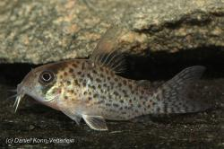 Corydoras(ln9) kanei - Click for species data page