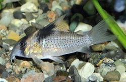 Corydoras(ln9) melanistius