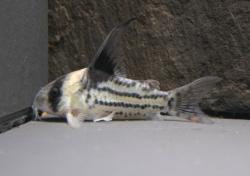 Corydoras(ln9) parallelus