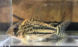 Corydoras(ln9) pavanelliae - Click for species page