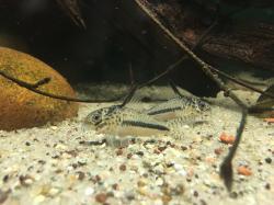 Corydoras(ln9) sipaliwini